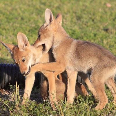 gpa-bill-coyote-pups-3