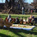 poplarspring-thanksgivingwithturkeys01