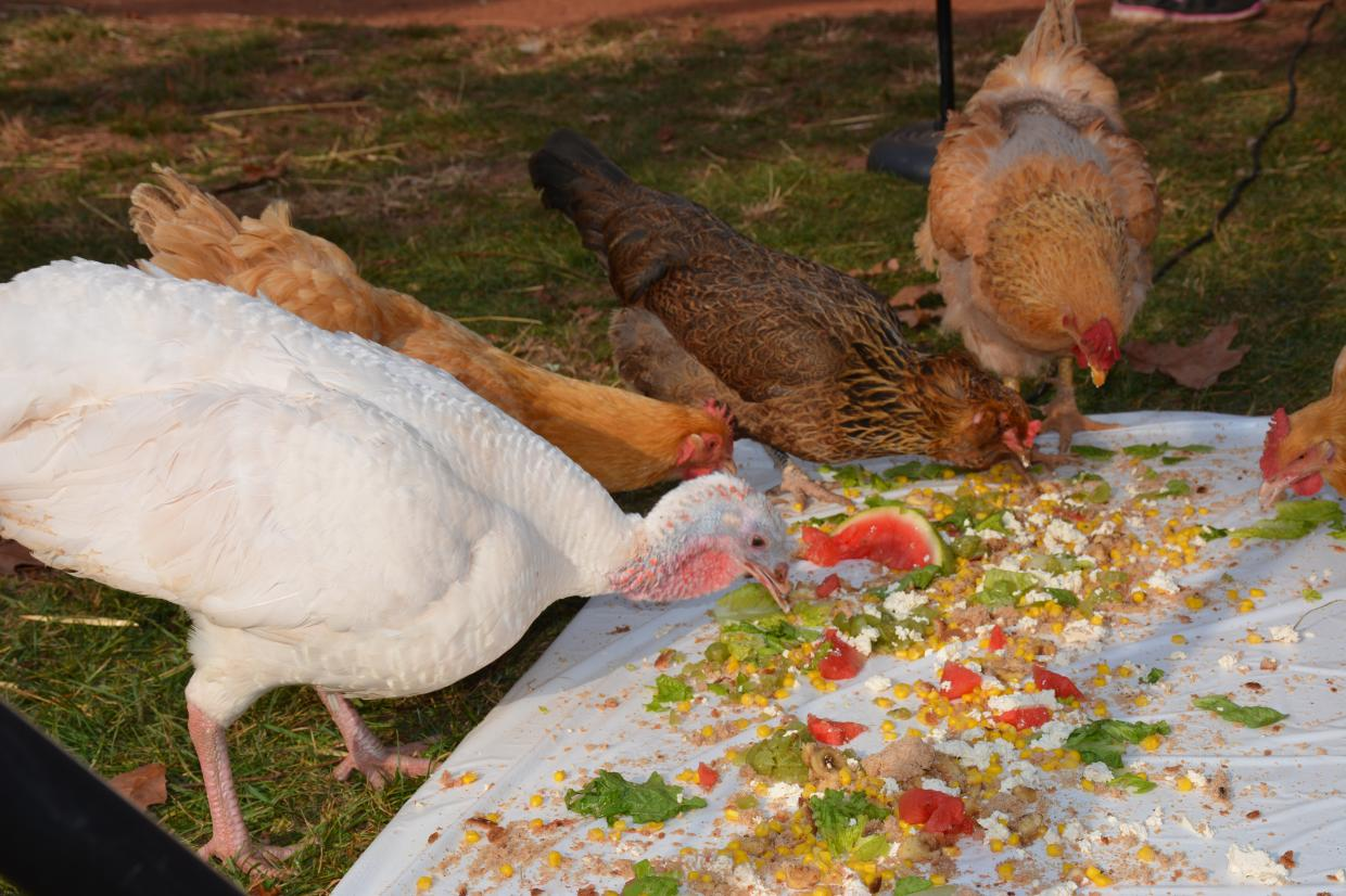 turkey-and-chickens-eat-at-thanksgiving-of-the-turkeys-event-at-animal-sanctuary